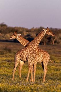 550種野生動植物國際貿易規範 華盛頓公約將著手修訂