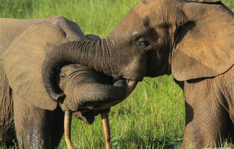 剛果法院首例 12年殺害500多頭大象 盜獵者將蹲30年苦牢